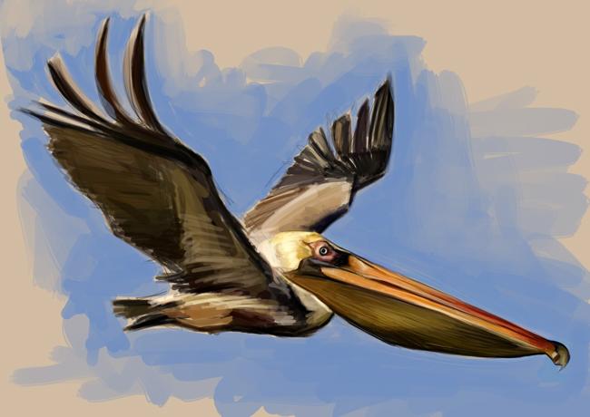 pelican_sketch